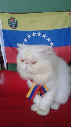 Gato Persa para La Monta