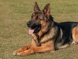 busco en adopcion perro rottweiler o pastor aleman ciudad