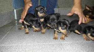 Cachorros Doberman Pincher