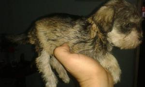 Cachorros Schnauzer (sal Y Pimienta)