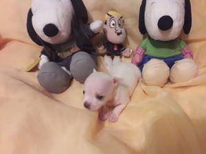 Chihuahua Miniatura 100% Puro Fcv - Pedigrí (macho)
