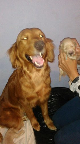 Golden Retriever Macho Cachorros