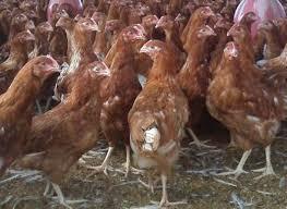 A la venta pollonas ponedoras ISA BROWN de 18 semanas