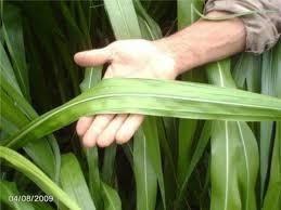 Semillas Pasto Corte Cuba22 Para Ganado