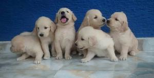 Golden Retriever Cachorros 100% Puros