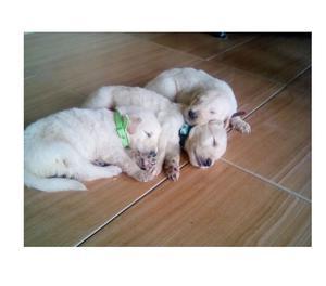 Venta De Cachorros De Golden Retreiver 100% Puros