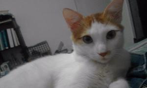 Gato En Adopción Raza Van Turco (tiene 7 Meses)