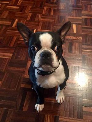 Boston Terrier Macho Para Monta En Caracas