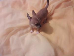 Chihuahua Super Minuatura 100% Puro Fcv - Pedigrí (hembra)