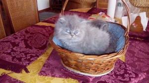 Gatos Persas Silver Azulados (macho Y Hembra)