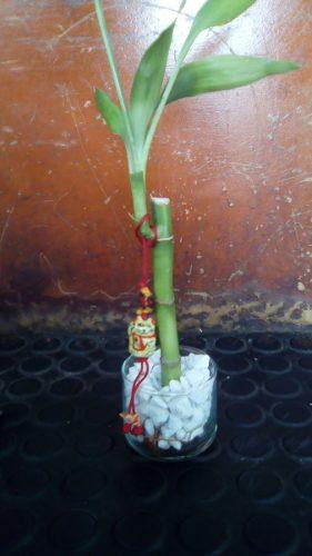 Lucky Bambú De La Suerte Decorado Al Estilo Feng Shui