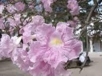 Plantas Semillas Jardin Flores Tabebuia Rosea Roble Rosado