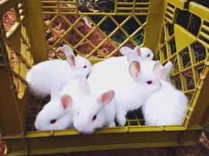 Conejos para Cria