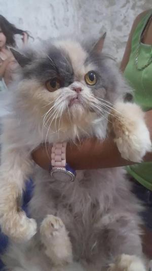 Gato Persa hembra juvenil