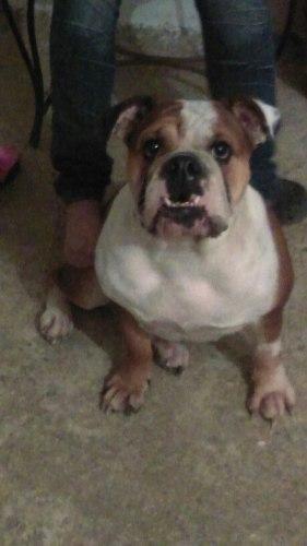 Adopto Bulldog Para Compañia De Mi Perrita