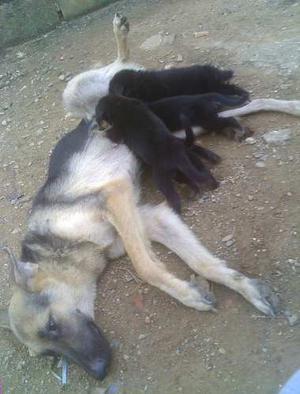 Cachorro Pastor Aleman Madre Y Padre Son Puro