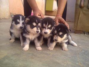 Cachorros Husky Siberiano Puros