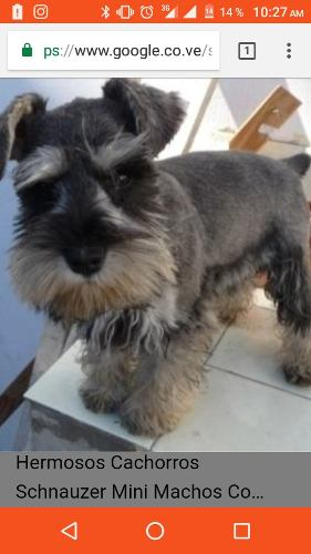 Cachorros Machos Schnauzer 4 Disponible