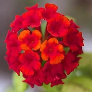 Semillas Jardín Flores Cariaquito Morado Lantana T.
