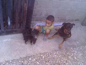 Cachorro Rottweilers Puros Linia De Canpeones