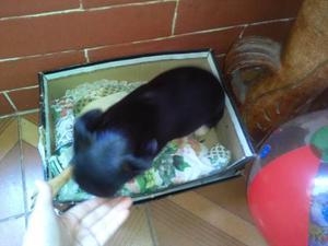 Cachorros Pincher Doberman Miniatura Raza Pura