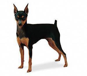 Busco en adopción perros raza pequena