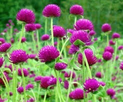 Semillas Flores Jardin Siempreviva Mas Obsequio