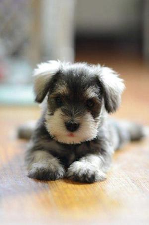 vendo hermosos cachorros schnauzer miniatura