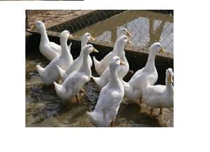 Manual De Cria De Patos Full Ilustrado