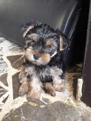 Cachorros Yorkshire Terrier Yorkie Macho