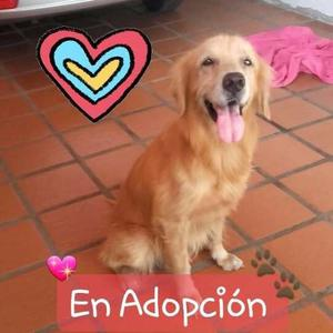 Golden Retriever En Adopción