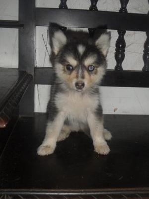 Husky Siberiana