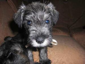 Vendo Bellos Cachorros Schnauzer Nacidos El 5 De Enero