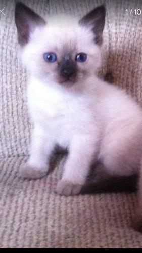 Gato Siamés Puro 1 Mes Y Medio