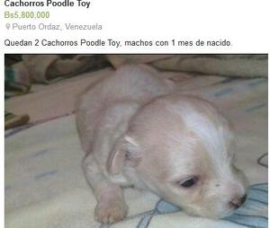 Cachorros Poodle Toy