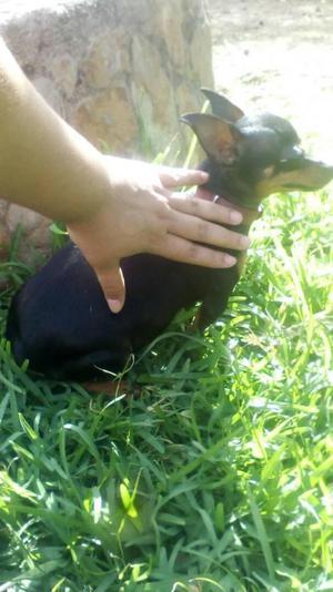Cachorros doberman Pincher miniatura prximos a nacer