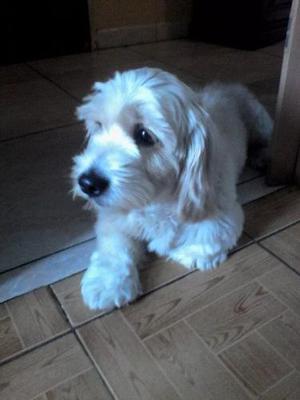 Acepto Perro Cachorro Cocker Spaniel Macho En Adopcion Ccs.