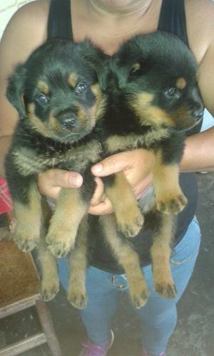 Cachorros Rottweilers Padre Con Pedigree