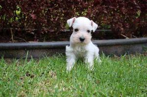 Hermosos Mini Schnauzer Cachorros