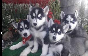 Husky Siberiano Disponibles Cachorros