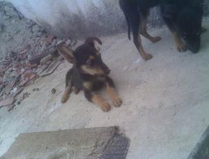 Cachorro Pastor Áleman Con Cuatro Meces