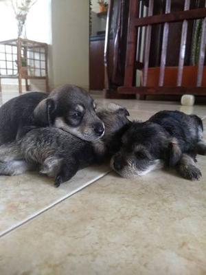 Cachorros Schnauzer 1 Mes De Nacido