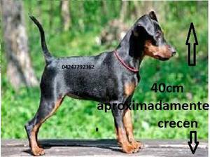 Perro Cachorros RAZAS PEQUEÑAS Pincher DOBERMAN Nacidos El