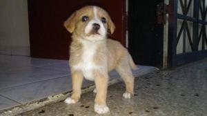 Perro Cachorros rasas pequeñas Pincher Pinsher Nacidos El