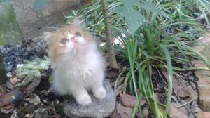 Gato Persa (macho, Tres Meses)