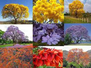 Combo Semillas Arboles De Venezuela Flores Bonsai Ornamental