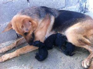 Cachorros De Pastor Aleman Con Pedigri.
