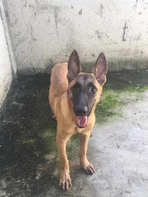Cachorros Pastor Belga Malinois 5 Meses De Edad (machos)