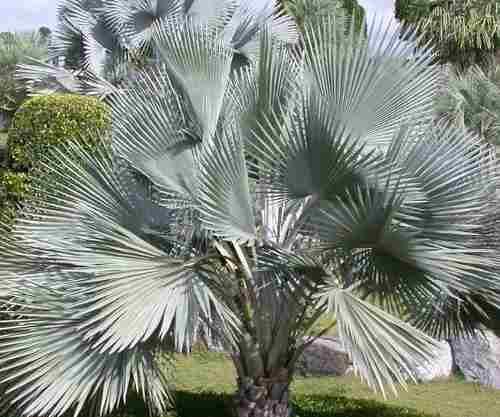 Semillas De Palma Plateada Bismarckia Nobilis