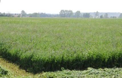 Alfalfa Alimento Animal, Pasto Para Caballos Y Ganado.